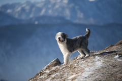 Portrait of bearded collie. Happy purebred dog bearded collie enjoying wind on mountains. He is trimmed, has short coat, blue with white markings royalty free stock images