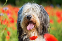 Portrait of a bearded collie in a poppy field. Portrait picture of a bearded collie in a poppy field royalty free stock photos