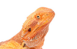 Portrait of Bearded Dragon Royalty Free Stock Photography