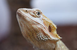 Bearded dragon lizard Stock Photos
