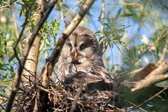 A bird hatching eggs. A bearded owl in natural habitat. Portrait of bearded owl strip nebulosa on the nest high in the trees. Summertime. Animal world. A bird royalty free stock photo