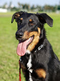 Beauceron / Australian Shepherd Dog Portrait the Park. Portrait of a Beauceron and Australian Shepherd mixed breed dog sitting in an urban park Royalty Free Stock Images