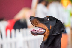 Portrait of Beauceron Royalty Free Stock Photo