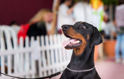 Portrait of Beauceron Stock Photography