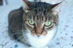 Portrait of a beautiful adult female cat, Barcelona, Spain. Stock Photo