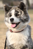 Portrait of beautiful Akita Inu Royalty Free Stock Images