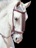 Portrait of beautiful Andalisian speckled- white horse. Spain. i Royalty Free Stock Image