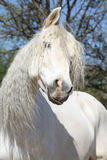 Portrait of beautiful andalusian mare in spring Stock Image