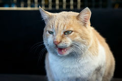 Portrait of beautiful angry ginger cat Stock Photos