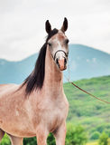Portrait of beautiful arabian filly. Stock Photos