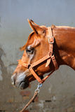 Portrait of beautiful arabian horse against white wall Stock Photography