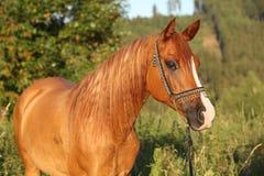 Portrait of beautiful arabian horse