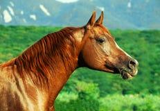 Portrait of beautiful  arabian horse at freedom. Portrait of beautiful  sorrel  arab at freedom Stock Photo