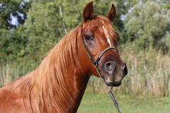 Portrait of a beautiful arabian horse head on natural background Royalty Free Stock Photography