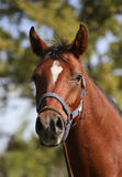 Portrait of beautiful arabian horse in summer corral Stock Photography