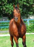 Portrait of beautiful arabian stallion. Outdoor Stock Images