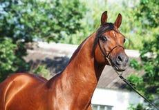 Portrait of beautiful arabian stallion. Outdoor Stock Photos
