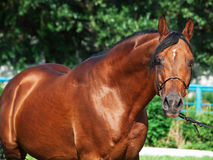 Portrait of beautiful arabian stallion. Sunny day Stock Photography