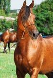 Portrait of beautiful arabian stallion. Sunny day Stock Photo