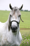 Portrait of an beautiful arabian white horse Stock Photography