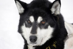 Close up of a black Siberian Husky Royalty Free Stock Photos
