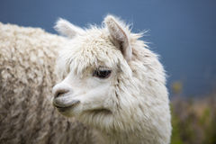 Portrait of beautiful baby Llama, Bolivia Royalty Free Stock Images