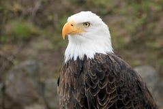Portrait of a bald eagle, haliaeetus leucocephalus. Portrait of a beautiful bald eagle, haliaeetus leucocephalus Stock Images