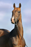 Portrait of beautiful bay Akhal-Teke stallion Royalty Free Stock Photo