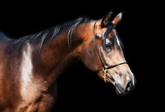 Portrait  of beautiful  bay arabian colt Stock Photos