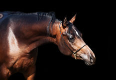 Portrait  of beautiful  bay arabian colt at black background Royalty Free Stock Photo