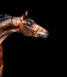 Portrait  of beautiful  bay arabian colt Royalty Free Stock Photography