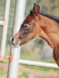 Portrait of beautiful bay arabian little foal. Israel Royalty Free Stock Photo