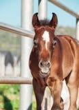 Portrait of beautiful bay arabian little foal. Israel Stock Photos