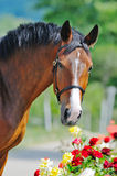 Portrait of beautiful bay horse Stock Photo