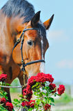 Portrait of beautiful bay horse Royalty Free Stock Photography