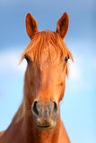 Portrait of a beautiful bay horse outdoors Royalty Free Stock Photography