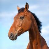 Portrait of beautiful bay horse Royalty Free Stock Photos
