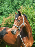 Portrait of beautiful bay  mare Stock Photography