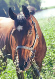 Portrait of beautiful bay  mare art toned Royalty Free Stock Photos