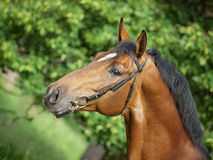 Portrait of beautiful bay stallion Stock Photo