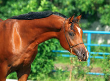 Portrait of beautiful bay young  arabian stallion Stock Photos