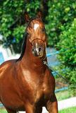 Portrait of beautiful bay young  arabian stallion. Outdoor Stock Images