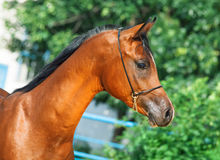 Portrait of beautiful bay yuong  arabian stallion Stock Photography