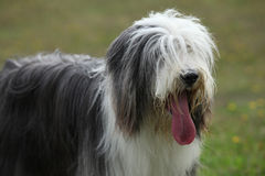 Portrait of beautiful bearded collie Stock Image
