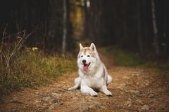 Portrait of beautiful beige siberian Husky dog lying on the path in the bright fall forest on the falling leaves. And looking to the camera royalty free stock photos
