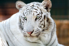 Portrait of a beautiful bengal white tiger. Beautiful gentle white tiger head portrait stock photography
