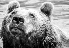 Portrait of big brown bear swimming in the water. Portrait of beautiful big brown bear ,in black and white. Wonderful background of closeup of wild animal Stock Photo