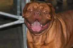 Portrait of beautiful big neapolitan mastiff. Portrait of beautiful big brown neapolitan mastiff stock images