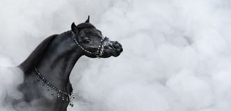 Portrait of black American miniature horse in smoke. stock photo