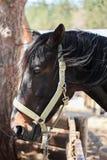 Portrait of Beautiful Black Arabian horse. At Sunny Day Royalty Free Stock Photos